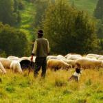 Livestock in organic farming